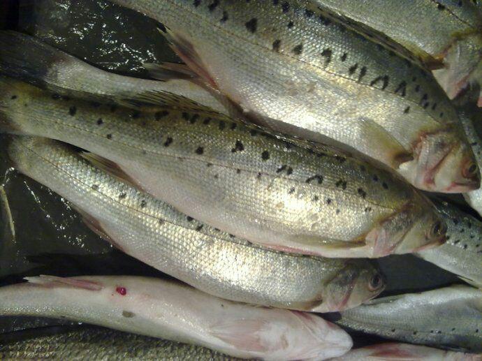 海鲈鱼 食用