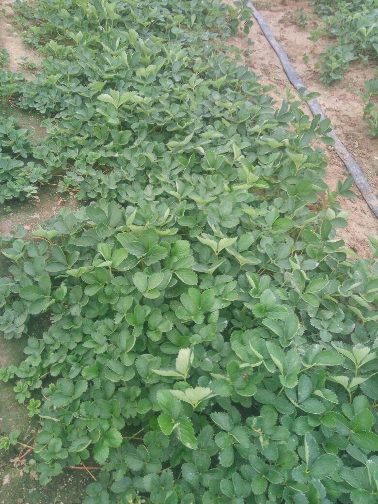 山东青岛市平度市甜宝草莓苗 10~20cm批发_李卫供应