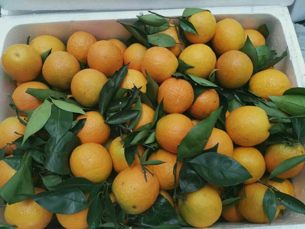 湖北宜昌市点军区橙子 65~70mm 鲜果批发_胡