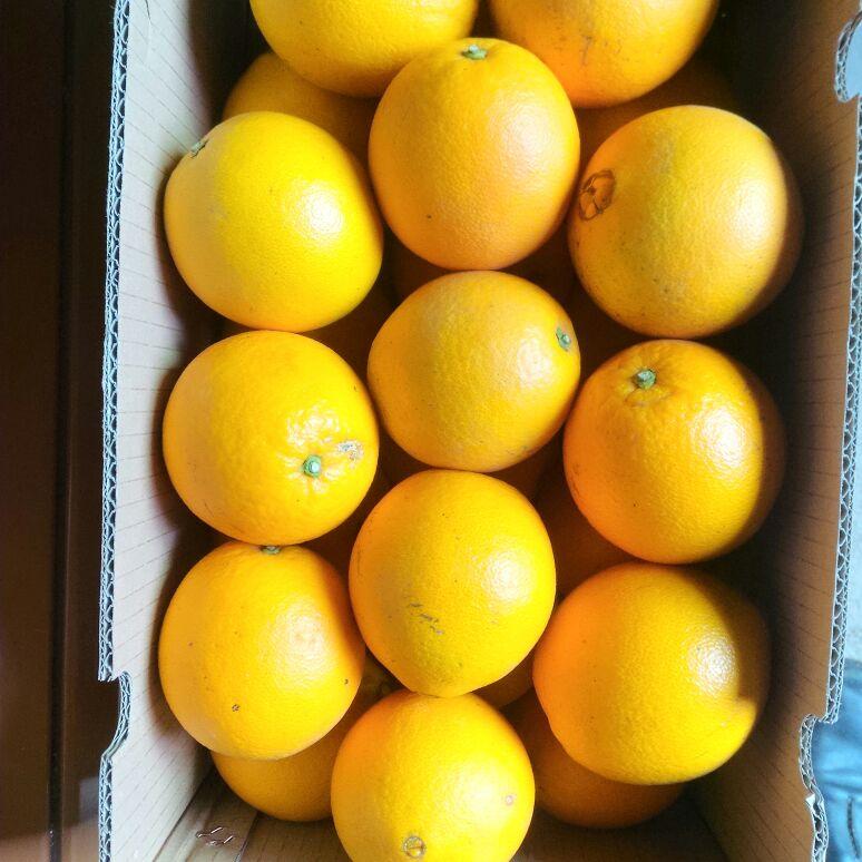 脐橙果园图矢量