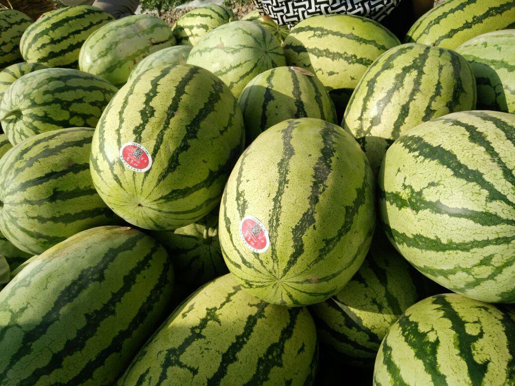吴忠市红寺堡区无籽西瓜种植试验报告