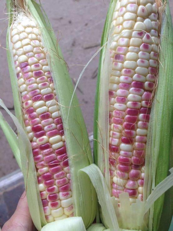 彩色糯玉米