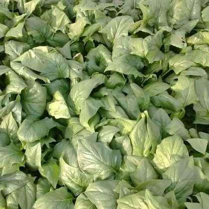大叶菠菜图片