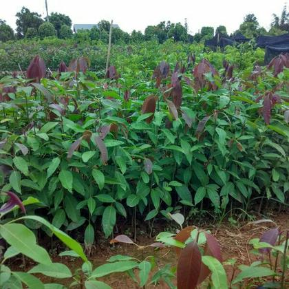 5m               种植户             老板信息 海南白沙县邦溪镇