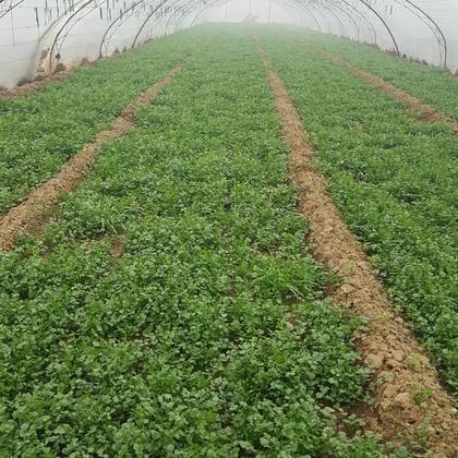 陕西西安市阎良区小叶香菜 15~20厘米以上批发_朱文学