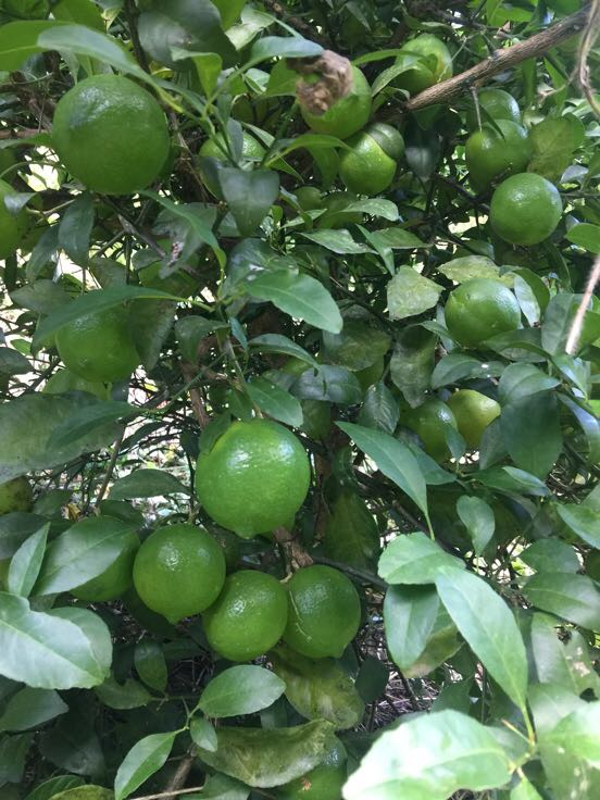 青柠檬 1.6~2两