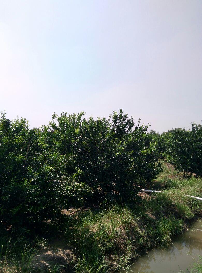 """我市柑桔专家郑树雄于1954年在蕉柑品种中选育""""白糖蕉柑""""良种,该品种"""