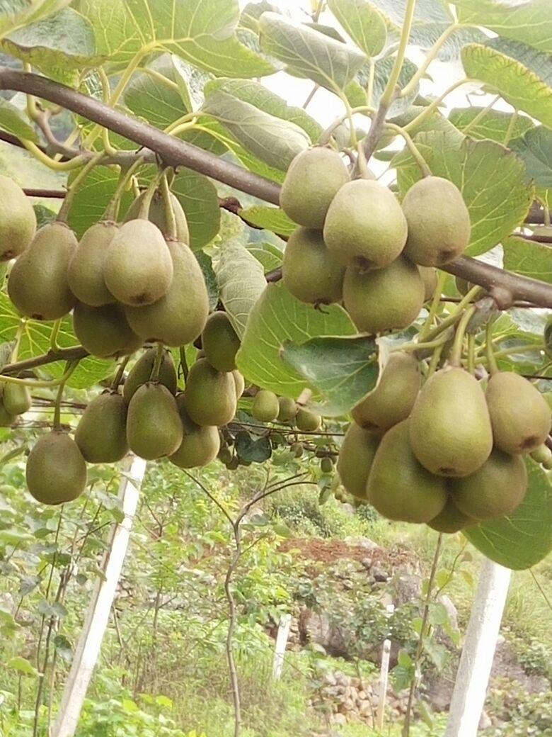 贵州六盘水市水城县红心猕猴桃