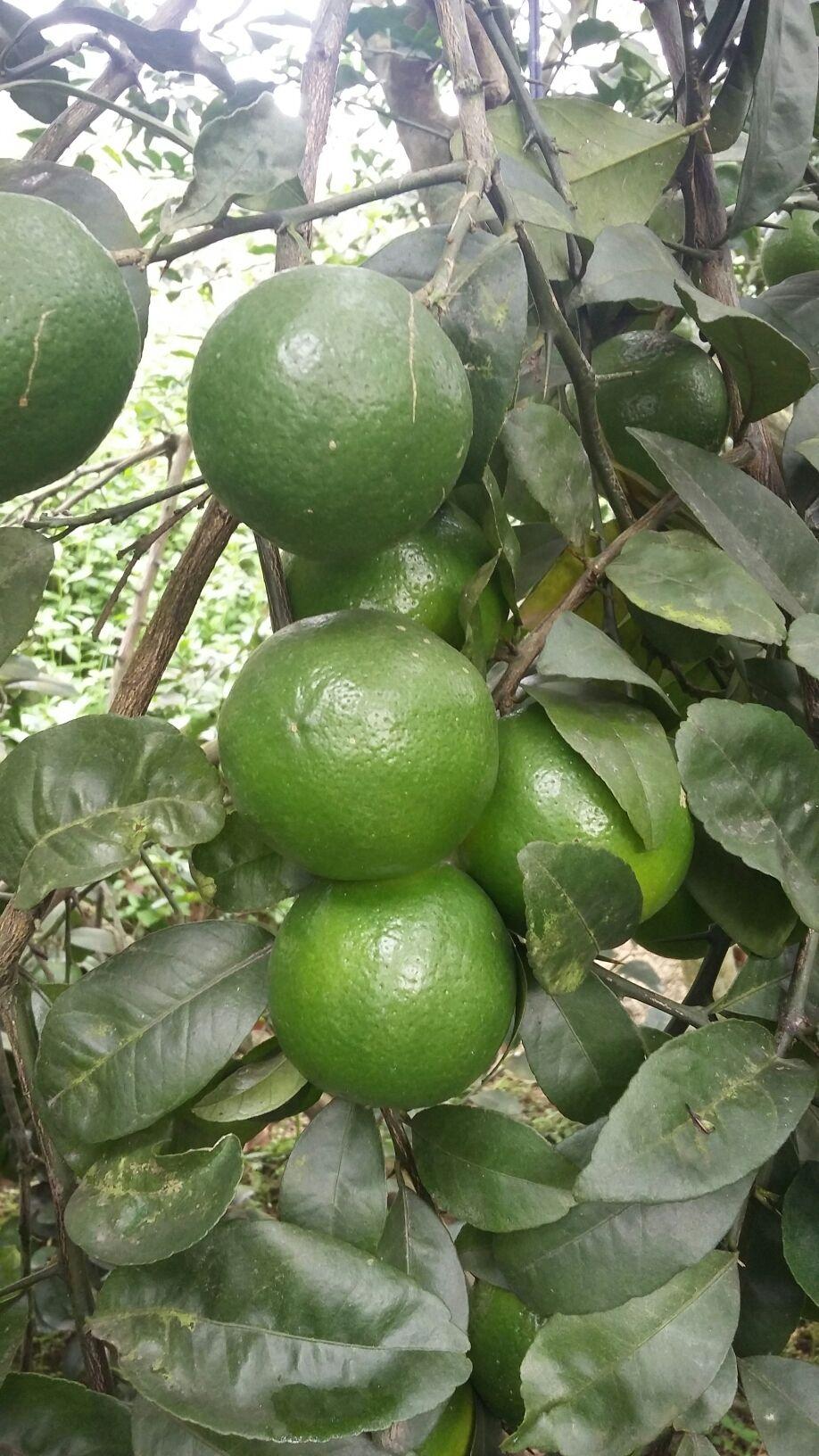 青柠檬 1~1.5两