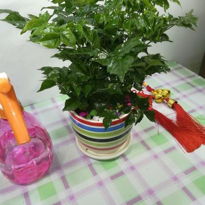 供应大厅  花卉盆景  幸福树  幸福树 20~30cm  广东广州市荔湾区