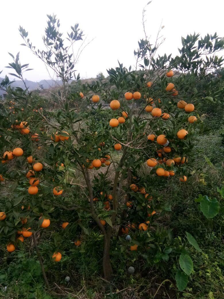 重庆长寿区塔罗科血橙