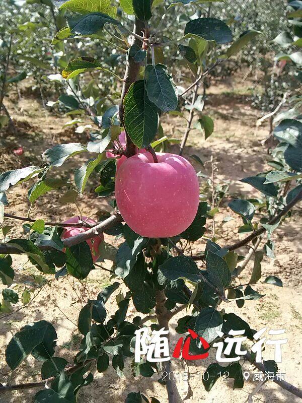 山东威海市文登区苹果树批发_孙佑序供应_一亩田农业网