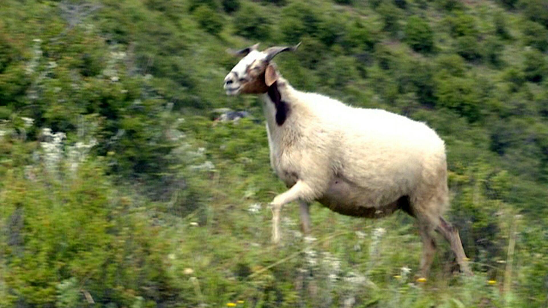 动物羊奔跑图片大全