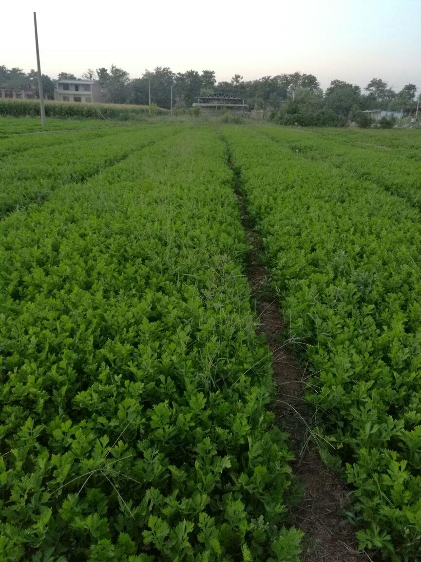 5~1斤  1000斤 陕西西安市阎良区 10 已结束 西芹芹菜 杆长:50cm以上