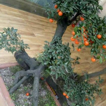 供应大厅  花卉盆景  柿子树盆景  柿子树盆景 80~100cm