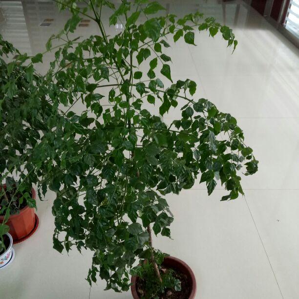 供应大厅  花卉盆景  幸福树  幸福树 50~80cm  货品详情 产地 品种