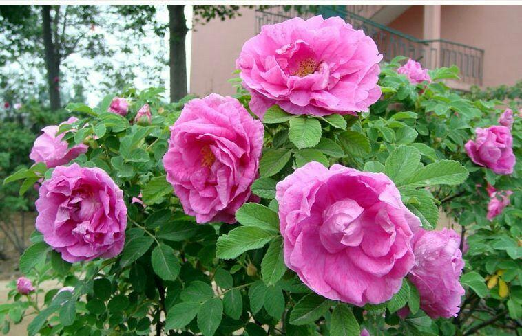 整株小玫瑰花图片