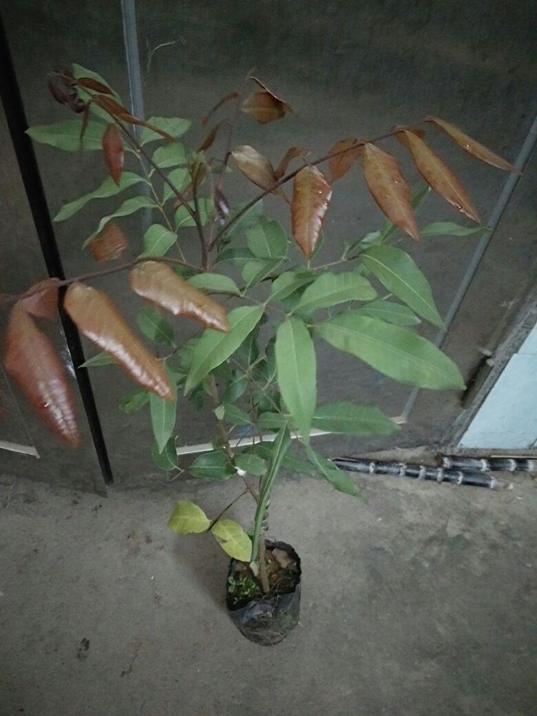 桂圆树苗刚出土