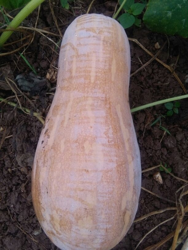 一亩南瓜产量