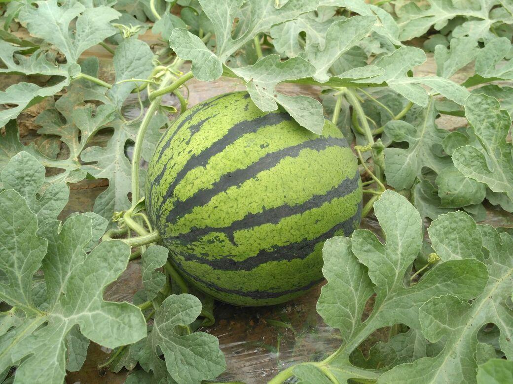 西瓜刚长叶子的图片
