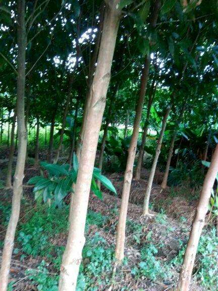 树型靓,树叶旺盛,本人有大福木棉树有12-18公分,,胶东树,有6-10公分