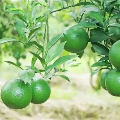 海南海口市龙华区绿橙批发