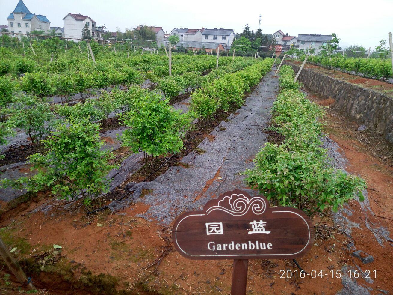 纯天然野生蓝莓,种植基地山清水秀