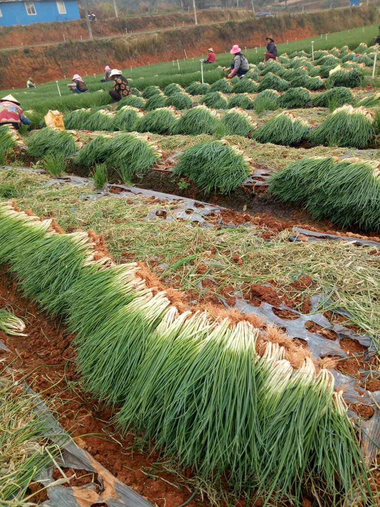 小葱种植,小葱的种植,小葱种植技术,小葱的种植时间,小葱种植方法,小葱的种植方法,草药种植,什么时间种植洋葱,金针菇种植,小葱的种植技术 小葱栽培技术 小葱栽培技术,小葱栽培技术相关图片,园艺新闻,园艺栽培,花与生活,时尚花艺,插花艺术,盆景奇石,园艺资材,花卉栽培,组培技术,家庭养花,花卉保健,花卉礼仪,花诗花语,.