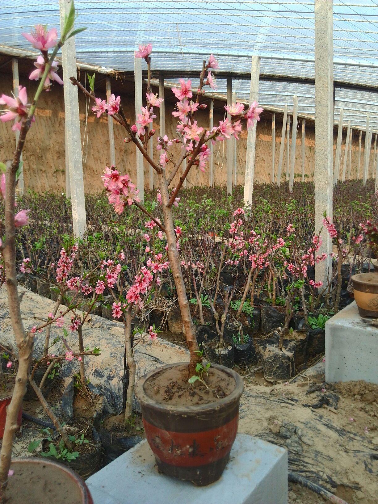 桃树盆景 30~50cm