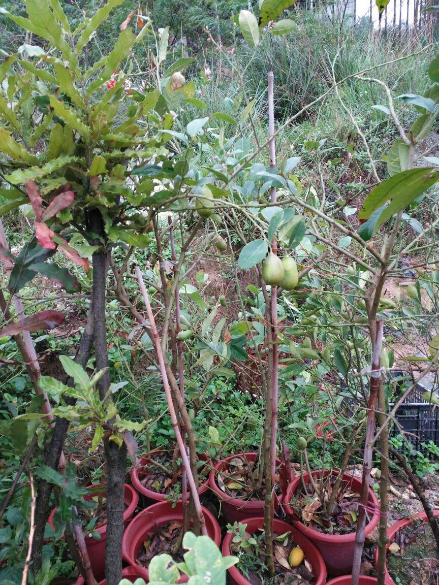 榴莲树苗 10~20cm