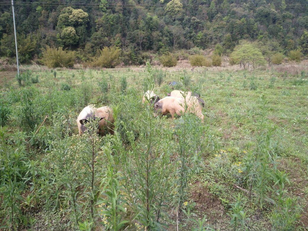 九连山巴马香猪养殖基地,基地占地100多亩,秉承生态绿色养殖的原则