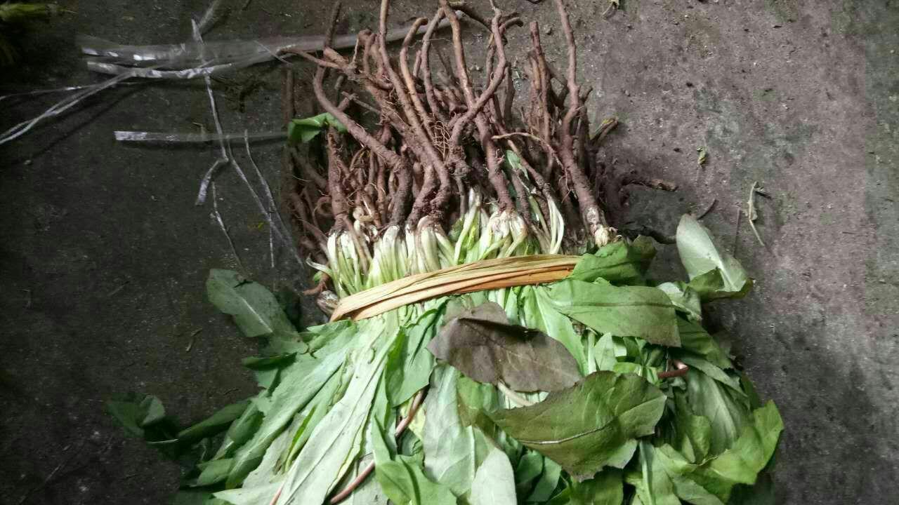 供应大厅  蔬菜 蒲公英  婆婆丁蒲公英  婆婆丁蒲公英 6~10cm  叶长图片