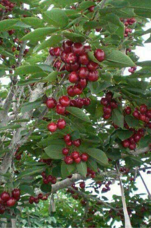 玛瑙红樱桃树苗 2年 50~80cm