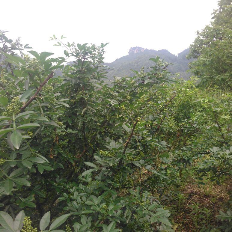 五华山风景区保护地种植区优质鲜青花椒,绿色有机花椒,好山好水好花椒