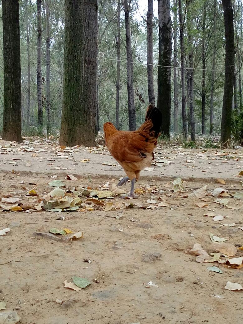 动物 鸡 780_1040 竖版 竖屏