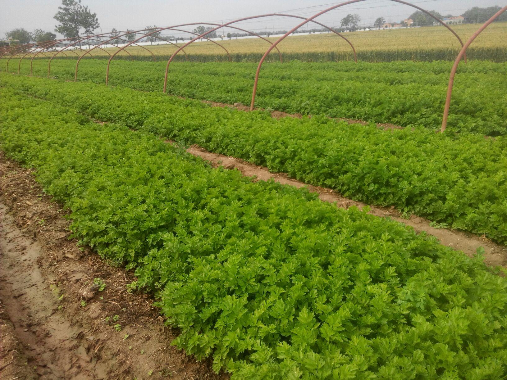 陕西西安市阎良区加州王芹菜(文图拉) 55cm以上批发