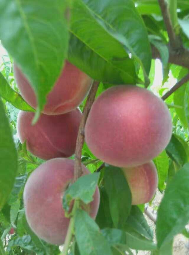 红桃素材 png