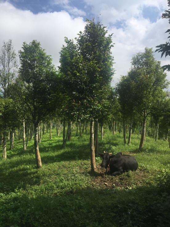 供应大厅  绿化苗木  沉香木  沉香树  沉香树 10~19cm  高度: 10~19