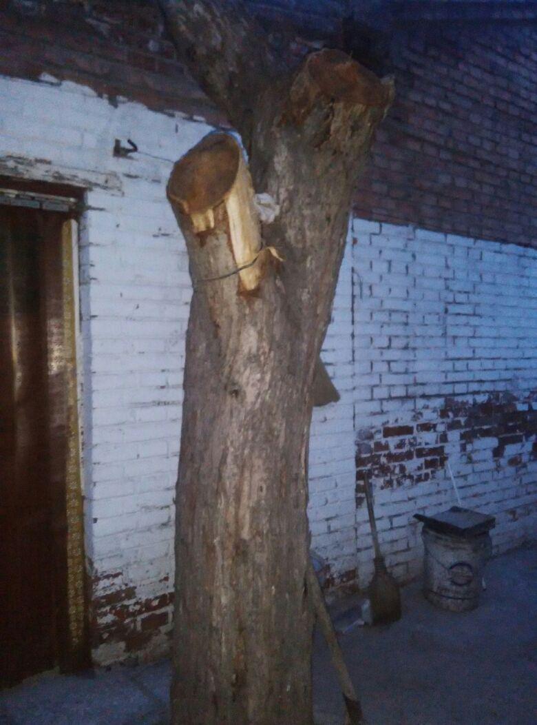 自家院里的一棵香椿树