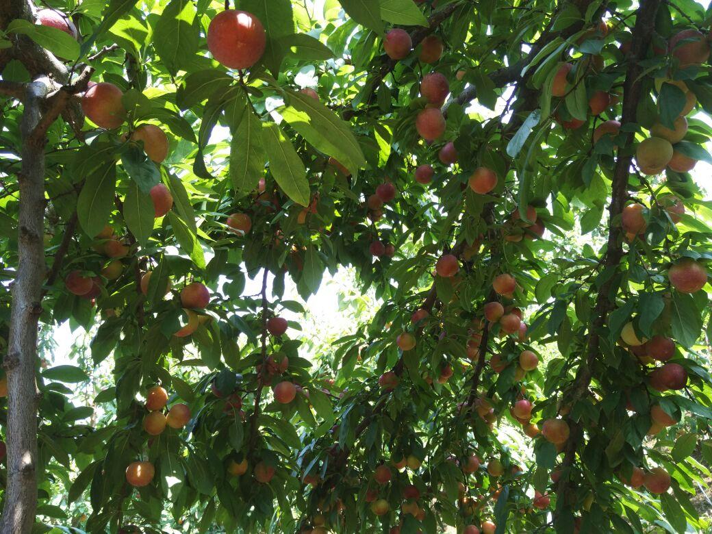 红果果树手绘