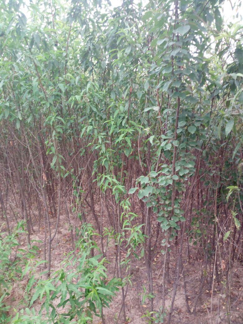 壁纸 成片种植 风景 树 植物 种植基地 桌面 780_1040 竖版 竖屏 手机