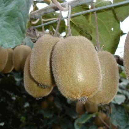 海沃德猕猴桃 80~100克