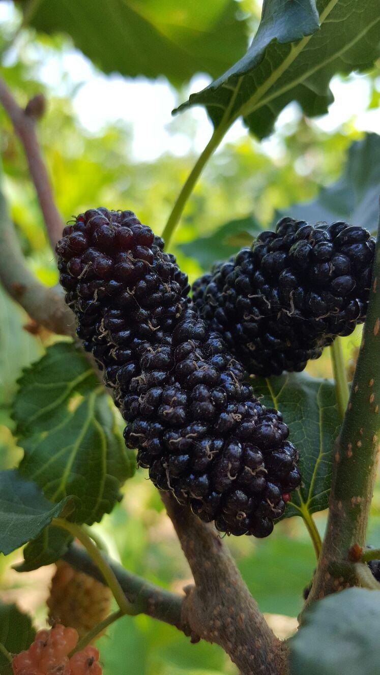 甜黑桑苗,长果桑苗,白桑葚苗,黑桃树苗,西梅树苗,无籽葡萄苗等优质