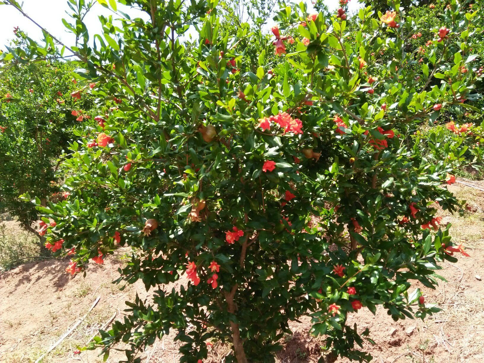 四川果树有什么用