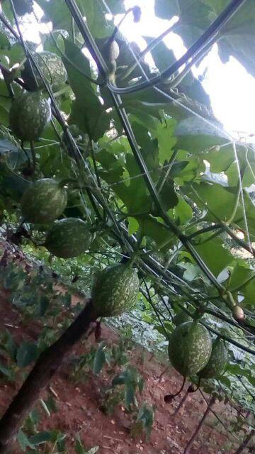 瓜蒌籽  瓜蒌籽