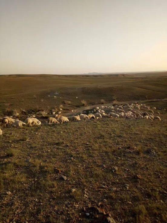 内蒙古巴彦淖尔市乌拉特中旗羊肉 野羊肉 是 带骨批发