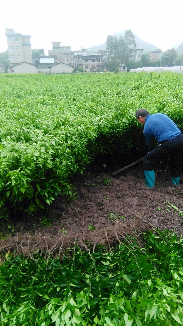 大量批发:沃柑苗,东方红桔苗