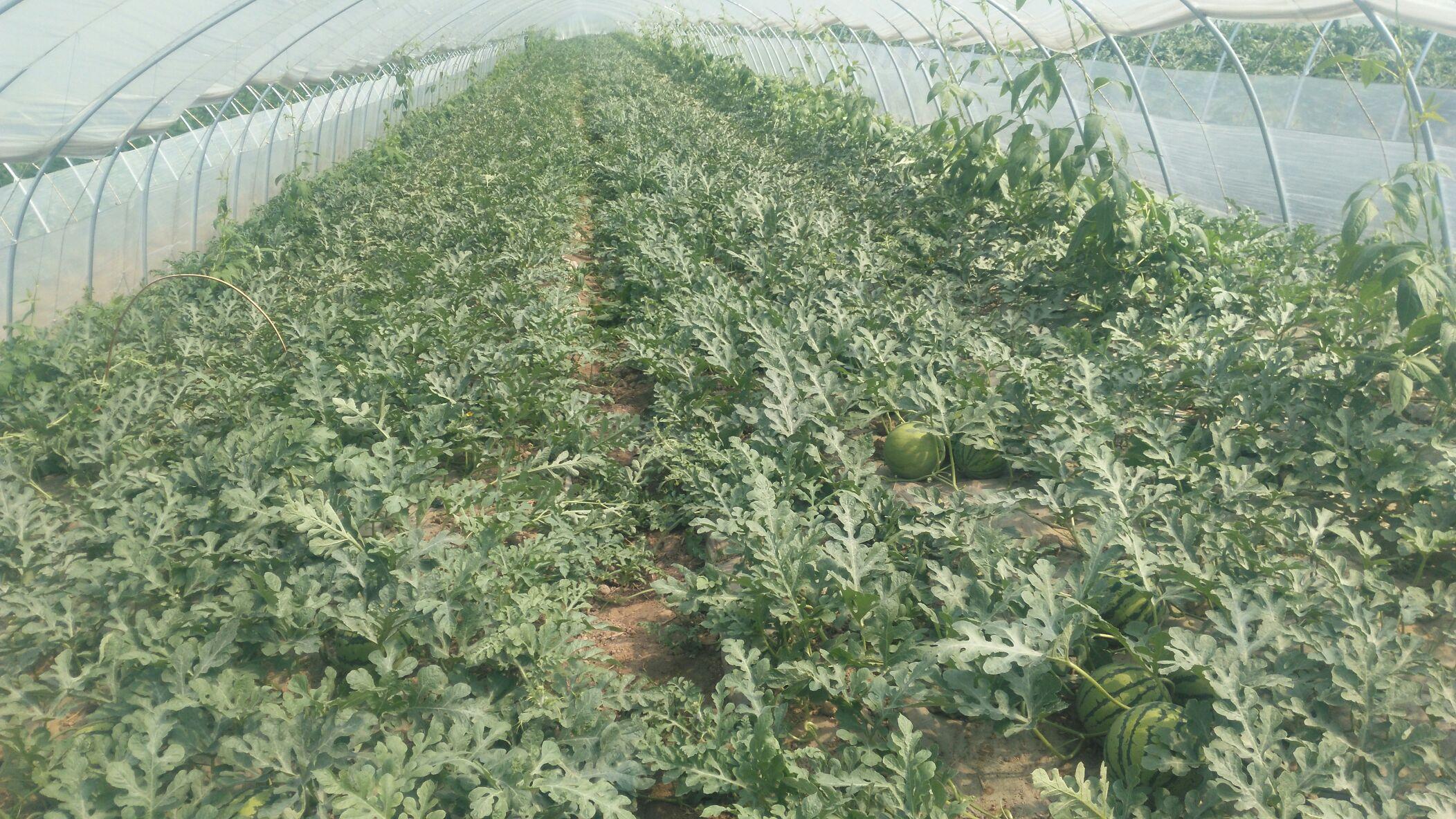 西瓜树种植技术