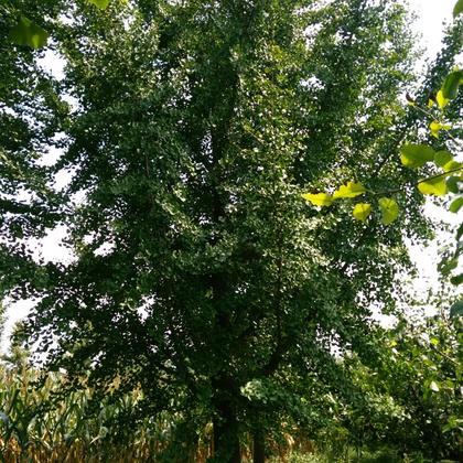 安徽宿州市砀山县银杏树 4~6cm 2.5~3米 3米以上批发