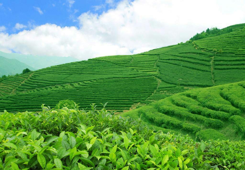 高清风景壁纸 茶叶